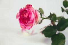Única rosa do rosa no fundo branco Foto de Stock Royalty Free