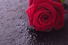Única rosa do vermelho Fotos de Stock Royalty Free