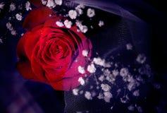 Única rosa do vermelho em um fundo escuro fotografia de stock