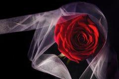 Única rosa do vermelho em um fundo escuro imagens de stock royalty free