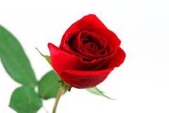 Única rosa do vermelho no fundo branco Foto de Stock