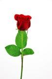 Única rosa do vermelho no fundo branco Imagens de Stock