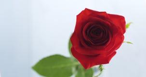 Única rosa do vermelho no vidro na tabela de madeira azul Imagem de Stock Royalty Free