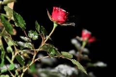 Única Rosa na neve na noite Imagem de Stock Royalty Free