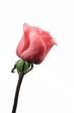 Única Rosa no branco Foto de Stock