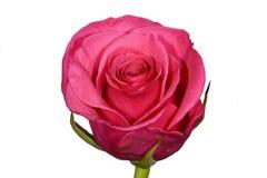 Única rosa obscura do rosa no fundo branco liso Foto de Stock