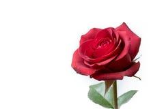 Única Rosa vermelha Foto de Stock