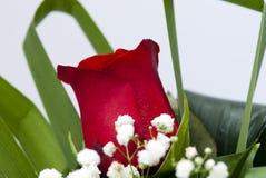 Única Rosa vermelha Fotografia de Stock