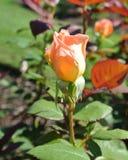 Única Rose Bud alaranjada Fotografia de Stock