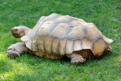 Única tartaruga gigante Foto de Stock