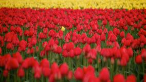 Única Tulip Standing Alone Imagem de Stock Royalty Free