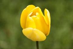 Única tulipa amarela contra um fundo verde fotografia de stock