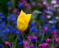 Única tulipa do yelow Imagens de Stock Royalty Free