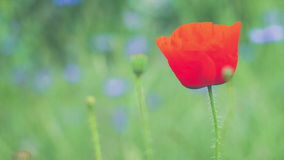 Única tulipa selvagem vermelha e alguns botões que movem-se no vento, flores violetas no fundo video estoque