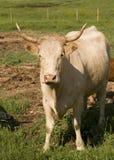 Vaca de carne Fotografia de Stock Royalty Free