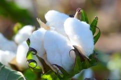 Únicas cápsulas do algodão Backlit no Sun foto de stock