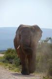 Únicas cargas do elefante Fotografia de Stock