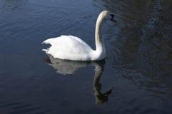 Únicas cisnes adultas no rio fotos de stock