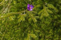 Único açafrão bonito da mola na grama Imagem de Stock