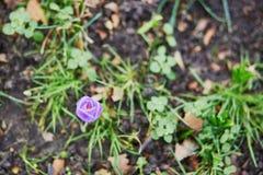 Único açafrão de florescência na grama Imagem de Stock