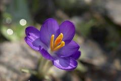Único açafrão violeta Imagens de Stock