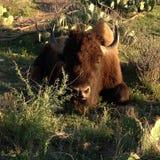 Único bisonte Fotografia de Stock