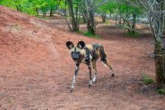 Único cão pintado africano foto de stock royalty free