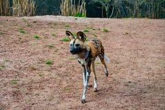 Único cão pintado africano imagem de stock