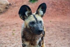 Único cão pintado africano fotografia de stock