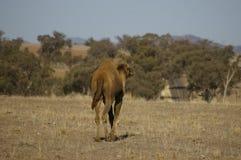 Único camelo humped doméstico australiano fotos de stock royalty free