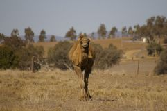 Único camelo humped doméstico australiano fotografia de stock royalty free