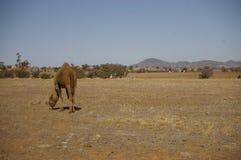 Único camelo humped doméstico australiano fotos de stock