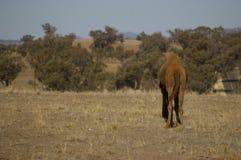 Único camelo humped doméstico australiano imagem de stock royalty free
