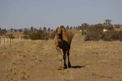 Único camelo humped doméstico australiano imagem de stock