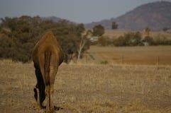 Único camelo humped doméstico australiano imagens de stock royalty free