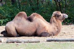 Único camelo que estabelece Imagem de Stock