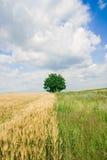 Único campo da árvore e de trigo fotografia de stock royalty free
