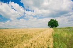 Único campo da árvore e de trigo imagens de stock