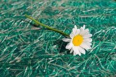 Único close-up da camomila Imagens de Stock Royalty Free