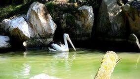 Único conspicillatus de PelicanPelecanus do australiano que procura o alimento na água sob rochas e raizes das árvores em um lago video estoque
