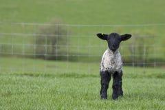 Único cordeiro em um campo de grama na mola Fotografia de Stock Royalty Free