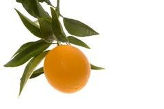 Único crescimento da laranja Foto de Stock Royalty Free