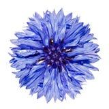 Único cyanus azul do Centaurea do Cornflower isolado Imagens de Stock Royalty Free