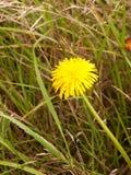 Único dente-de-leão amarelo no fim do assoalho do prado acima Imagens de Stock