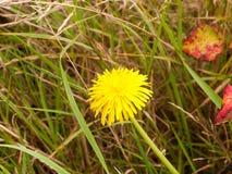 Único dente-de-leão amarelo no fim do assoalho do prado acima Fotos de Stock Royalty Free