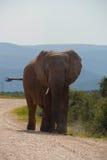 Único elefante Imagem de Stock Royalty Free