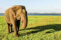 Único elefante selvagem imagens de stock