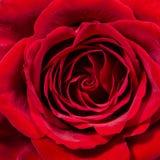 Único fim da rosa do vermelho acima Imagens de Stock