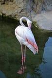 Único flamingo Foto de Stock Royalty Free