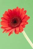 Único Gerbera vermelho em um fundo verde Imagem de Stock Royalty Free
